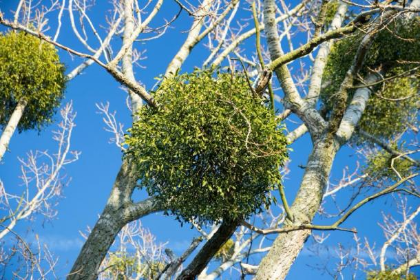 Mistletoe attached to the branches of a tree. Credit: unicusx / Adobe Stock
