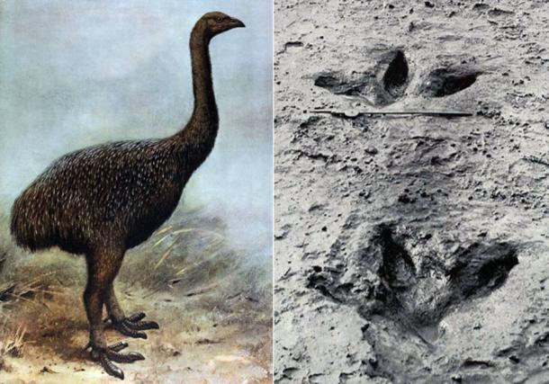 Left: Illustration of a Moa. Right: Preserved footprint of a Moa