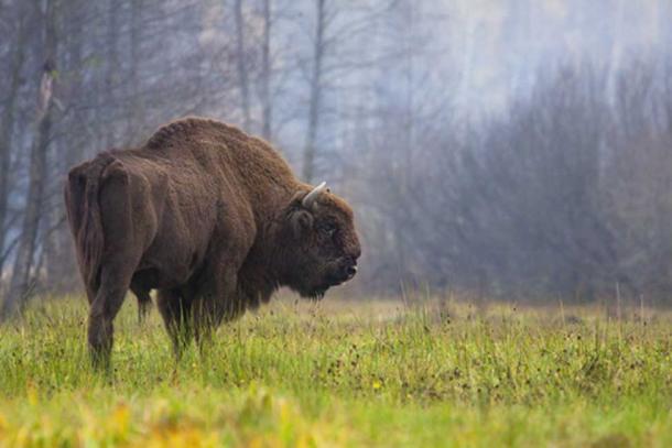 Modern European bison (or wisent) in Białowieża Forest, Poland.
