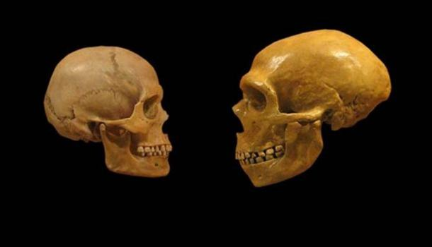 Comparison of Modern Human and Neanderthal skulls.