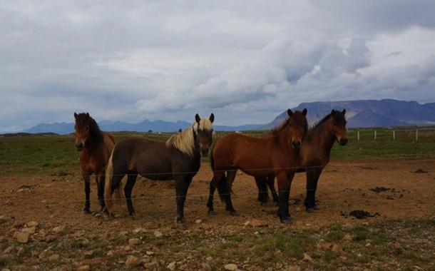Modern Icelandic horses are likely descended from the horses that Vikings were buried with, more than 1,000 years ago. (Albina Hulda Pálsdóttir, University of Oslo / CC by 4.0)
