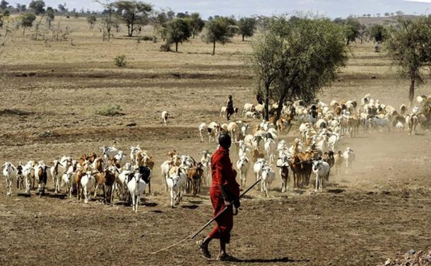 Modern Maasai herdsman herding goats in Serengeti, Kenya