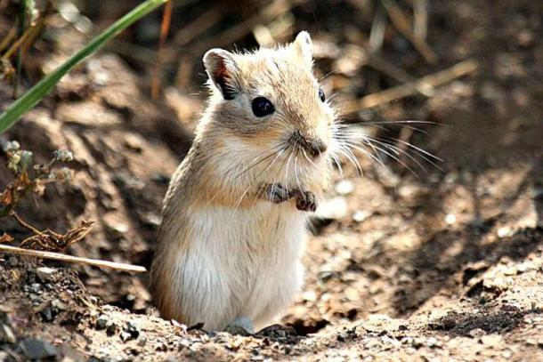 A Mongolian gerbil, perhaps the true flea-bearers that caused the plague epidemics in Europe.