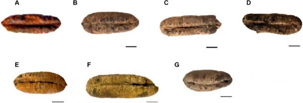 Morphology of six germinated ancient Judean date seeds before planting. (Guy Eisner / Sciencemag)