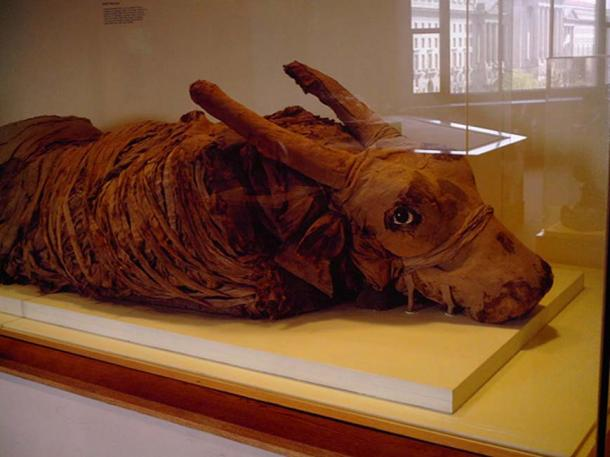 Mummified Bull at the National Museum of Natural History.