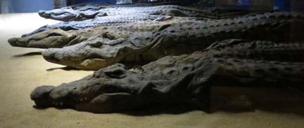 Mummified crocodiles, Aswan.