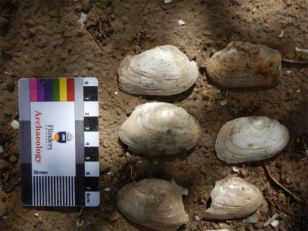 Mussel shells collected and dated from along the River Murray, downstream of Renmark in South Australia's Riverland region. (Flinders University)