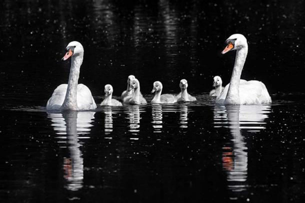 Mute swan (Cygnus olor) and cygnets, Wolvercote Lakes, Oxford. (Charles J Sharp/CC BY SA 4.0)