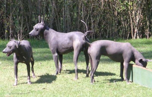 Figure 2. Native hairless dogs of Mexico