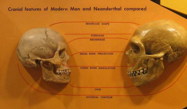 Comparison of Neanderthal and Modern human skulls from the Cleveland Museum of Natural History