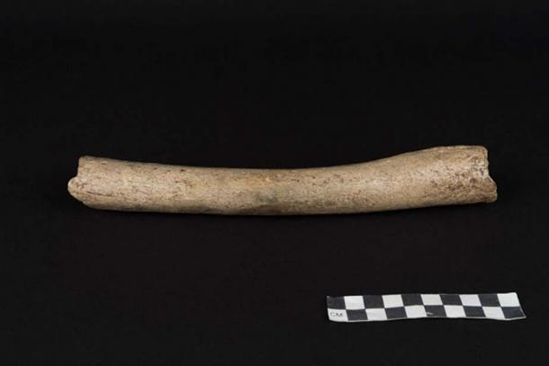 The bone that has provided mitochondrial genetic data that showed it belongs to the Neanderthal branch.