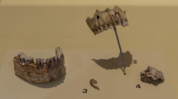 Neanderthals did eat plants as evidence from the study of Neanderthal teeth. (Thilo Parg / CC BY-SA 4.0)