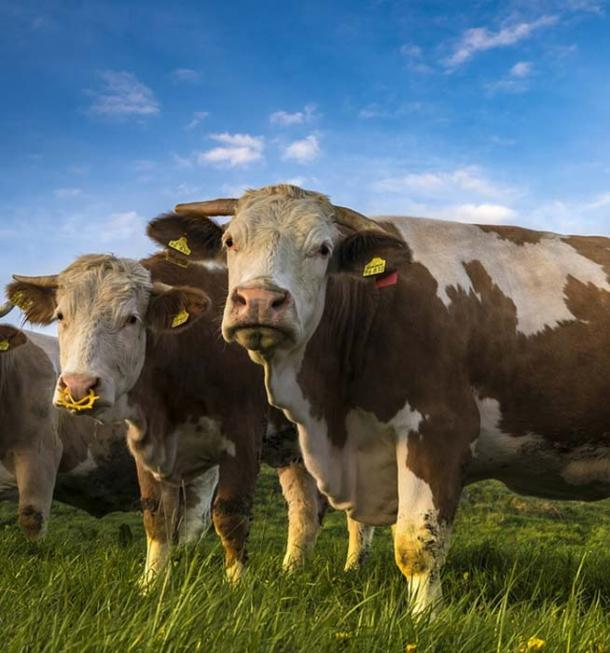 'Negative' cows.