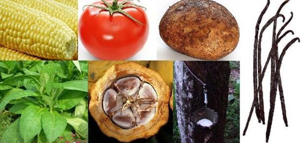 New World native plants. Clockwise, from top left: 1. Maize 2. Tomato 3. Potato 4. Vanilla 5. Pará rubber tree 6. Cacao 7. Tobacco