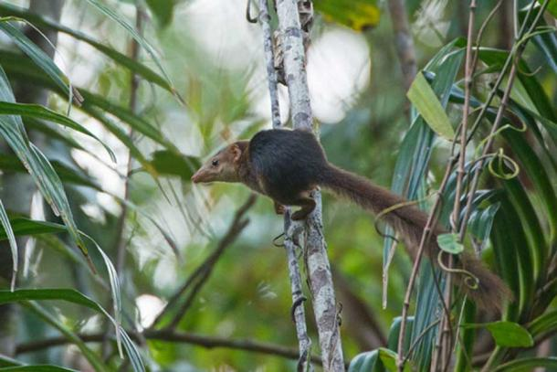 Nicobar Treeshrew (Tupaia nicobarica nicobarica) photographed near Campbell Bay in Great Nicobar, India