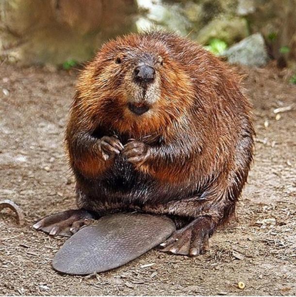 North American beaver (Castor canadensis). (Steve/CC BY SA 2.0)