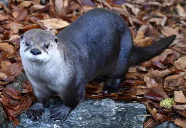 North American river otter. (Sage Ross/CC BY SA 3.0)