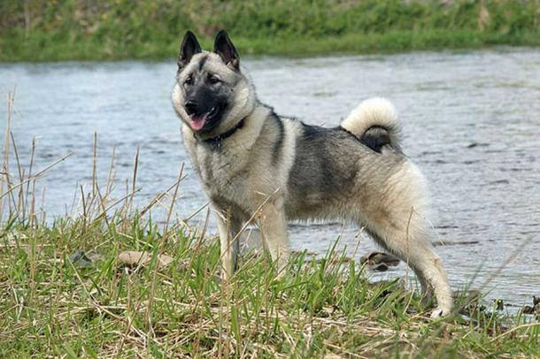 Norwegian Elkhound by the river.