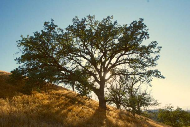 """Oak trees are largely promoted by low-to moderate-level forest fires."" (CC0)"