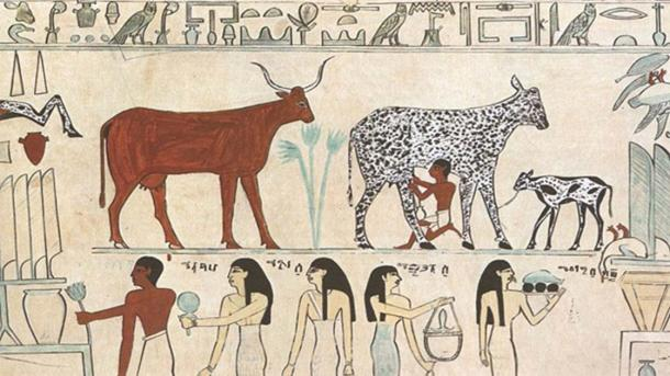 Old Egyptian painting showing an early instance of a domesticated animal (the cow being milked).