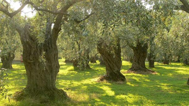 Olive trees on Thassos, Greece.