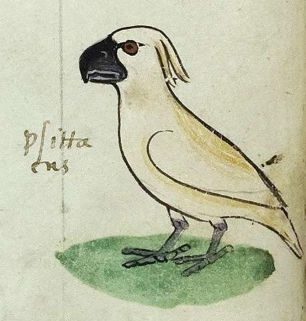One of the four images of the cockatoo gifted to Frederick II by the 'Sultan of Babylon'. Codex Ms. Pal. Lat 1071, folio 20v Source: © [2018] Biblioteca Apostolica Vaticana