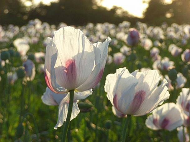 Opium poppies, Hampstead Norreys, near to Hampstead Norreys, West Berkshire, Great Britain. (Andrew Smith/ CC BY-SA 2.0)