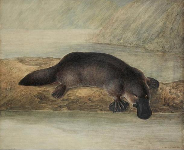Painting of a platypus, John Lewin, New South Wales, Australia (1808)