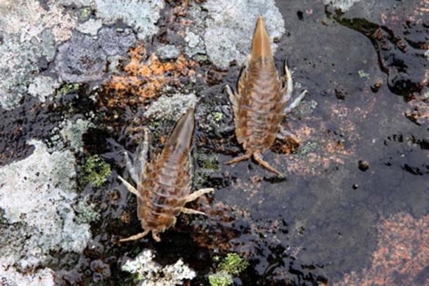 Pair of marine isopods (Henri Kioskinen / Adobe Stock)
