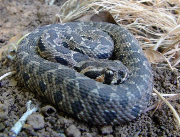 Palestine viper, a viper species endemic to the Levant. (Guy Haimovitch/CC BY SA 3.0)