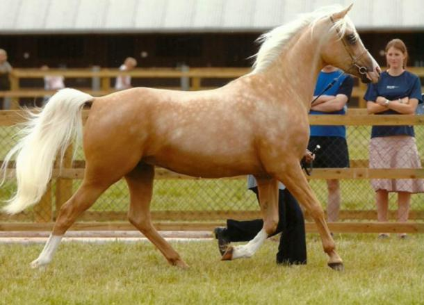 Palomino horse coloring ranges from deep gold to a golden cream color with white mane and tail
