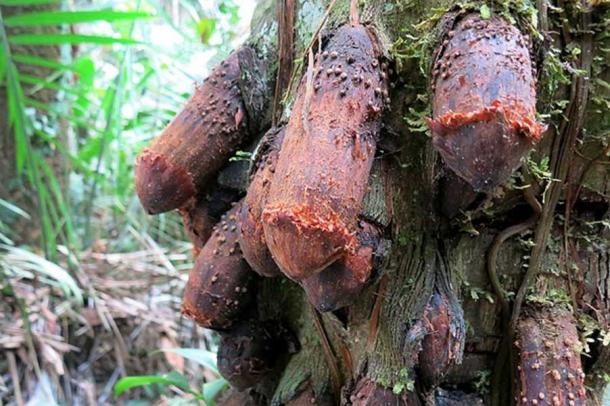 "The ""Penis tree"", Amazon rainforest"
