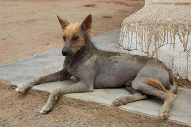 Peruvian Hairless Dog. (JeremyRichards /Adobe Stock)