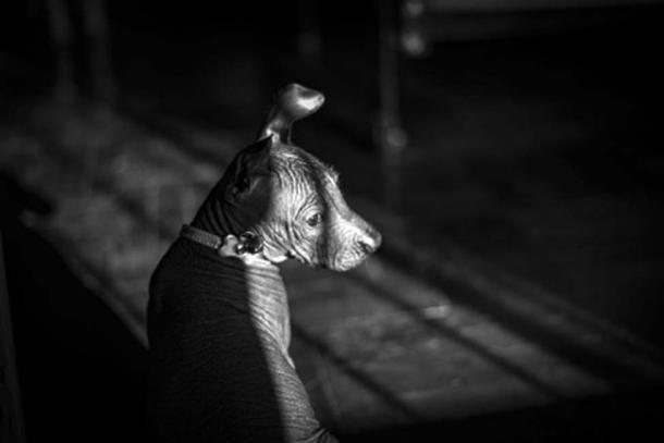 """Peruvian hairless puppy. (Angela Villavicencio /Adobe Stock) The Spanish conquistadors thought this was an """"ugly breed"""" fated to be eliminated."""