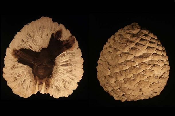 Petrified cone of Araucaria mirabilis from Patagonia, Argentina dating from the Jurassic Period (CC BY-SA 3.0)