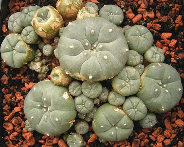 Peyote plant