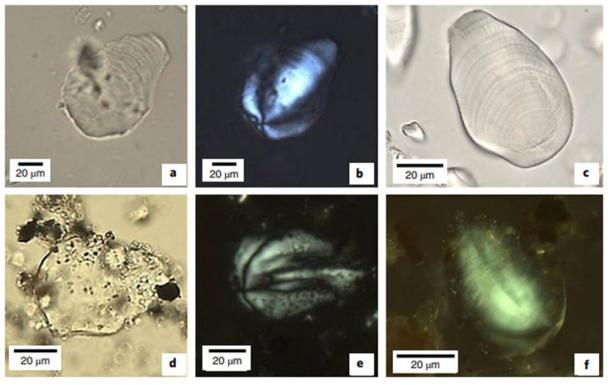 Photomicrographs of individual banana starch granules. a–c, Modern reference samples (Musa sp.) under PPL (a,c) and XPL (b). d–f, Comparative images for archaeological granule (S86) recovered from stratigraphic unit XU13 (48–55cm) under PPL (d) and XPL (e,f) showing features (shape, eccentricity, extinction cross, lamellae, longitudinal ridges and protuberance) consistent with banana reference samples. (Robert Williams et al / Nature)