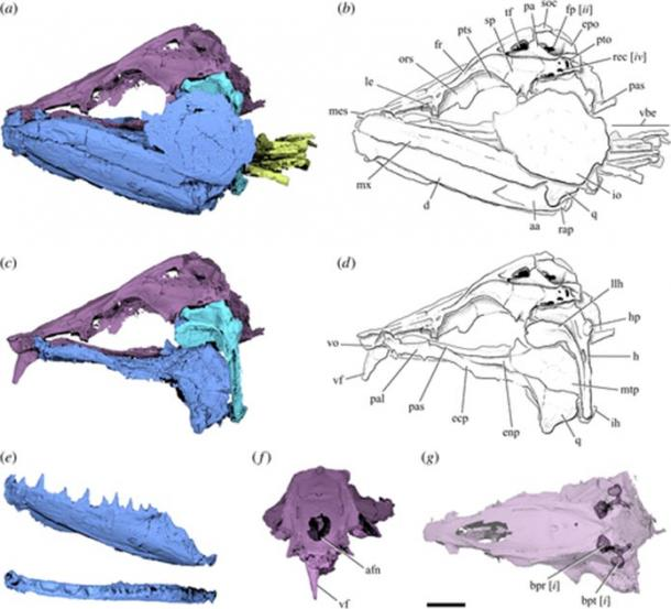 Pictured, the cranial anatomy of Clupeopsis straeleni ('the giant anchovies') as revealed by the CT scans. This extinct fish may have grown to be around 20 inches (1/2 meter) long and was likely a predator that ate other fish. Bottom left in light blue shows the sharp fangs on the bottom jaw. Bottom center reveals the large saber-tooth from the top jaw. Other images are scans or sketches of the fossil fragments. (Capobianco et al. / Royal Society Open Science)