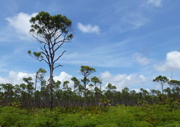 Pine trees at Lucayan National Park in the Bahamas. (Mike Gifford / CC BY-SA 2.0)