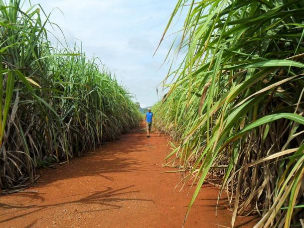 Plantation of sugarcane in southeast Asia