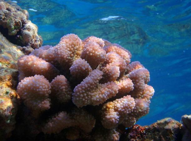 Pocillopora meandrina coral in natural habitat, Hawaii.