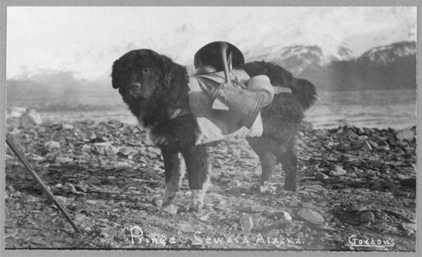 Prince, an Alaskan dog, carrying utensils on his back. (Public Domain)
