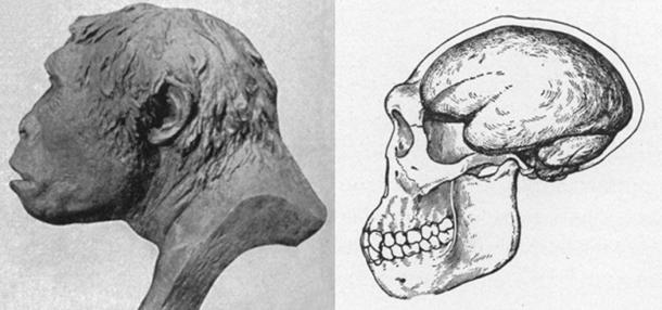 Left; Profile of Java Man after a model by J. H. McGregor. (Public Domain) Right; Skull and brain case of Jave Man by J. H. McGregor. (Public Domain)