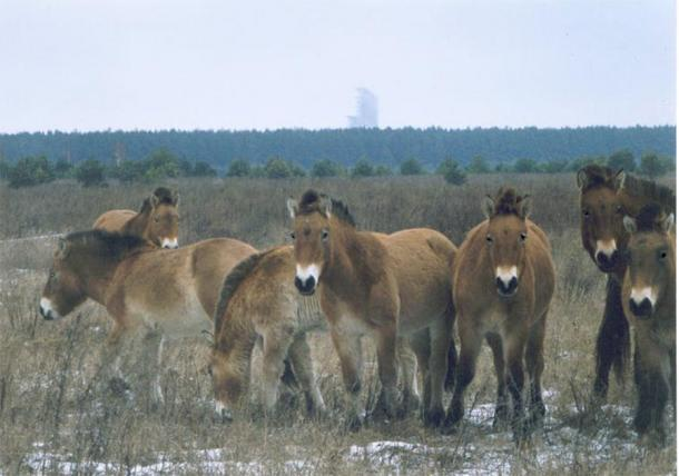 Wild Przewalski horses in the Chernobyl exclusion zone. (Xopc / CC BY-SA-2.5)