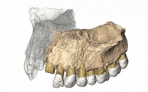 Reconstruced maxilla from microCT images.