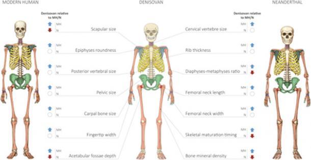 Reconstructed Profile of the Denisovan Skeleton. (Gokhman et al.)