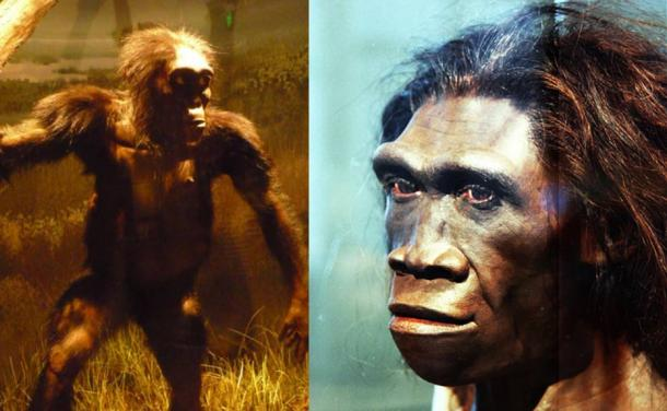 """Left: Reconstruction of """"Lucy"""" (an Australopithecus) using its remains. Natural History Museum, Washington DC, USA (CC BY SA 3.0) Right: A model of a face of an adult female Homo erectus, one of the first truly human ancestors of modern humans, on display in the Hall of Human Origins in the Smithsonian Museum of Natural History in Washington, D.C. (CC BY SA 2.0)"""