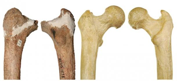 Red Deer Cave people thigh bone compared with a modern human (not to scale).