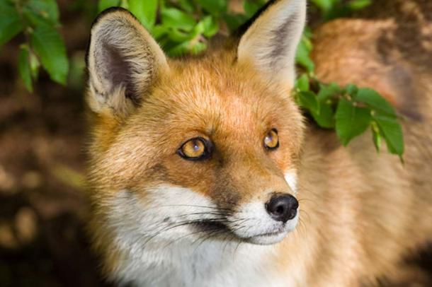 Quick as a Fox, Powerful as a Demon: Legendary Foxes and Their