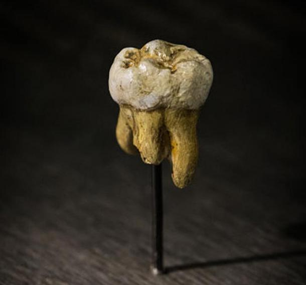 Replica of one of the Denisovan molars discovered in Denisova Cave. Museum of Natural Sciences in Brussels, Belgium.